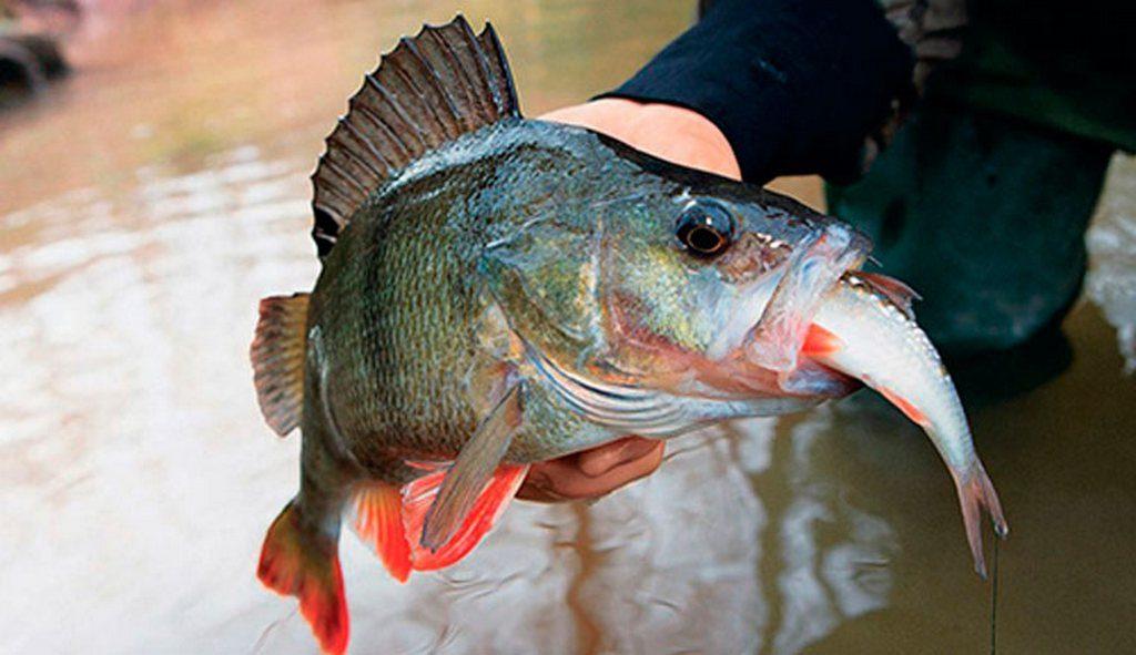 Малек – рыбка длиной до 35–40 мм