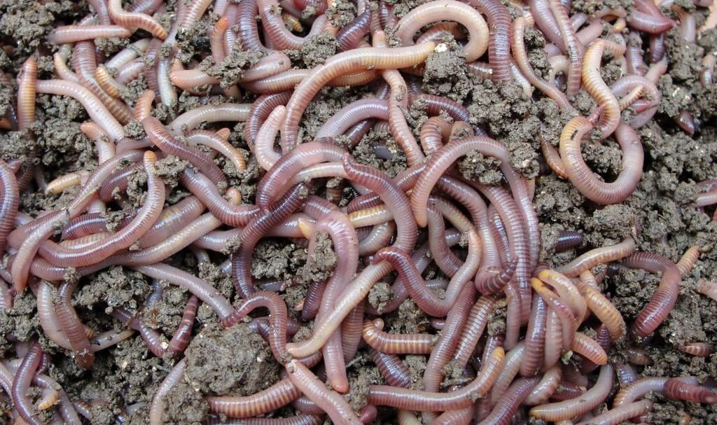Обеззараживание почвы при помощи червей