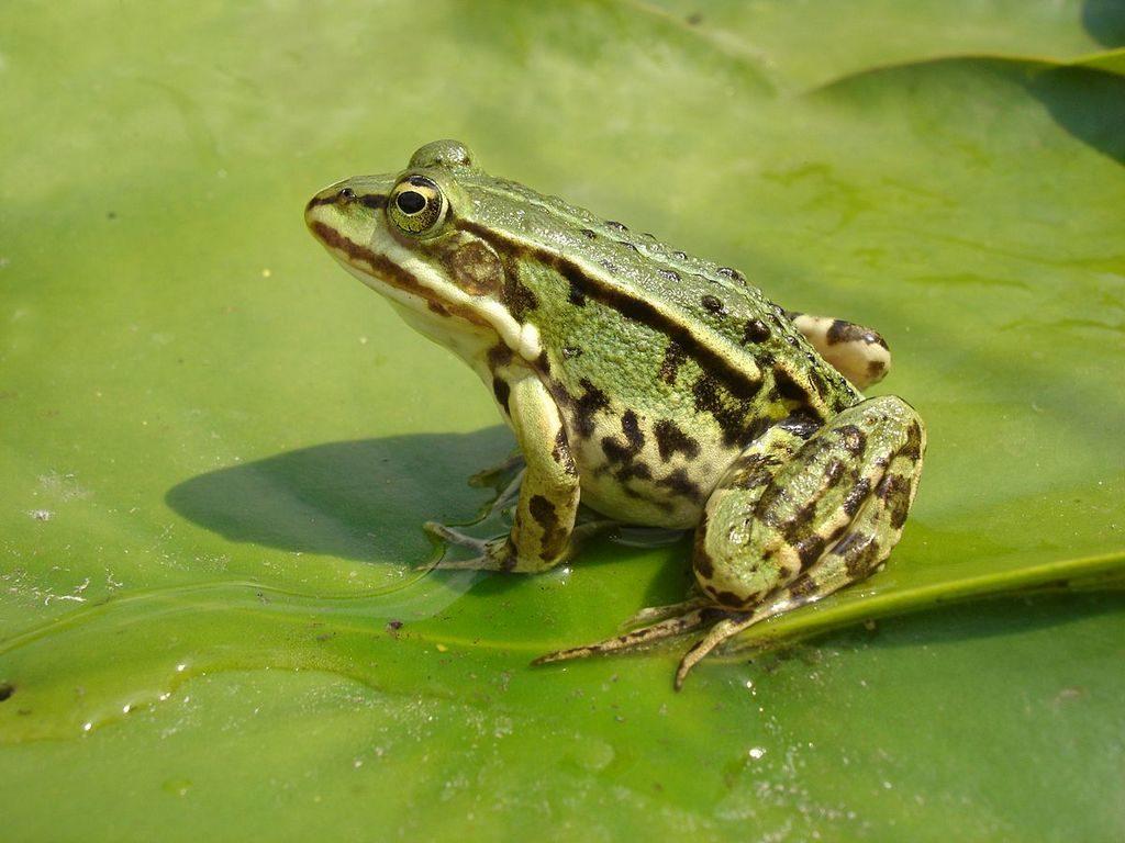 Лягушка зеленная