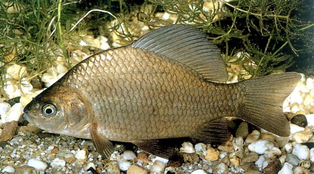 Карась – один из самых популярных объектов рыбалки