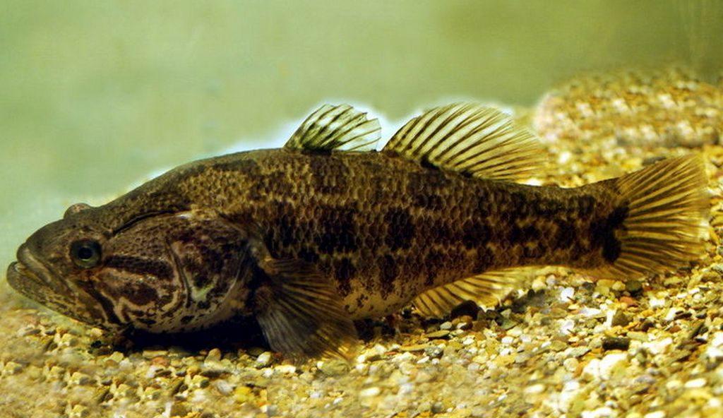 Ротан – рыба очень неприхотливая