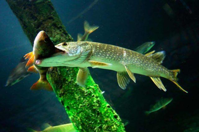 Его главное преимущество в том, что он позволяет закрепить снасть с живцом в любом месте водоема