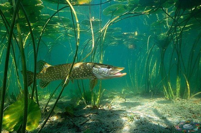Принцип действия снасти базируется на использовании в качестве приманки живой рыбки