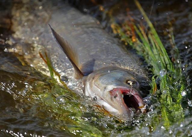 Теперь рыба поднимается в верхние слои воды, где активно питается упавшими в воду насекомыми и их личинками