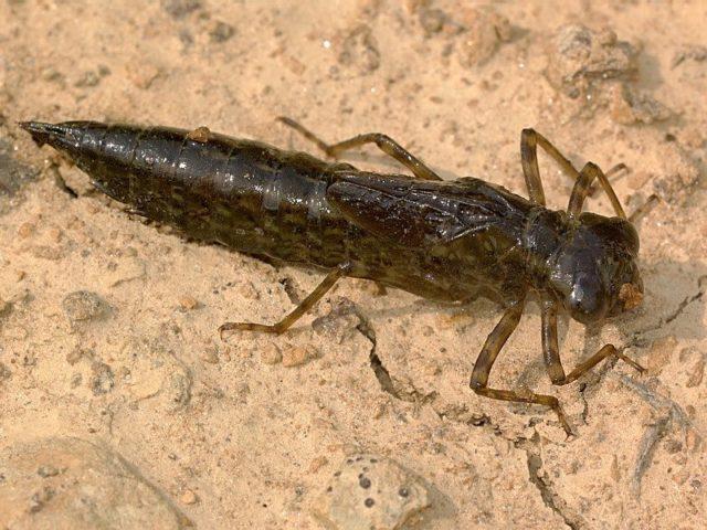 Лучшими наживками для этого подводного представителя являются: земляной или навозный червь