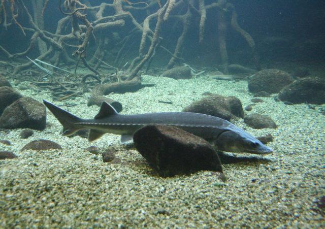 Застойные участки, где течение отсутствует, эта рыба избегает
