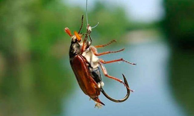 Наиболее востребованными, из всего разнообразия, считаются майские жуки