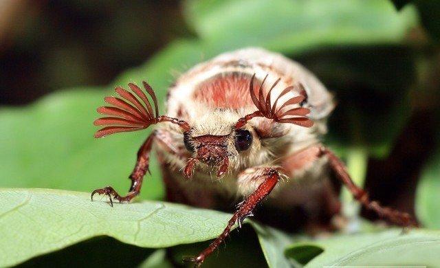 С наступлением тепла голавль глотает всех пролетающих и проплывающих насекомых