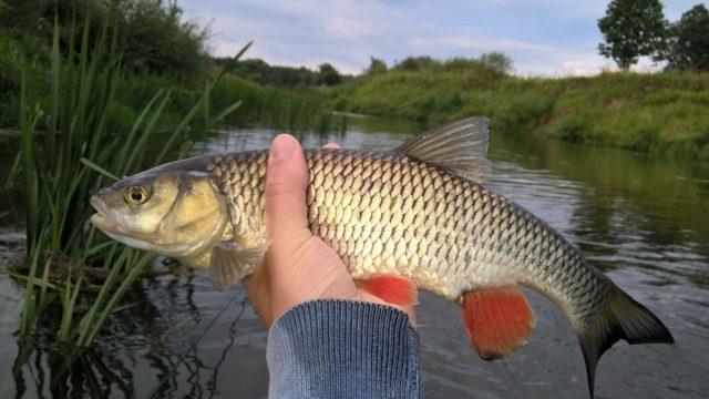 Для успешной нахлыстовой рыбалки на голавля необходимо правильно оборудовать снасть, подобрать насадки и изучить специфику ловли рыбы