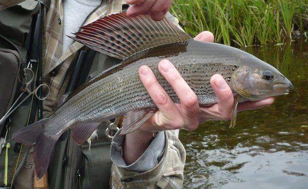 Близкими родственниками этого обитателя глубин считаются форель и семга, поэтому ловля хариуса нахлыстом принесёт немало удовольствия рыбаку