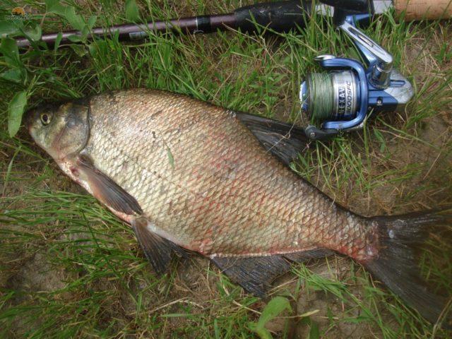 Для ловли, как в толще воды, так и у самого дна применяют различные поплавочные снасти