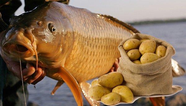 Карпу всё равно, что используется в качестве насадки: дорогой бойл или самодельный шарик из обычной картошки