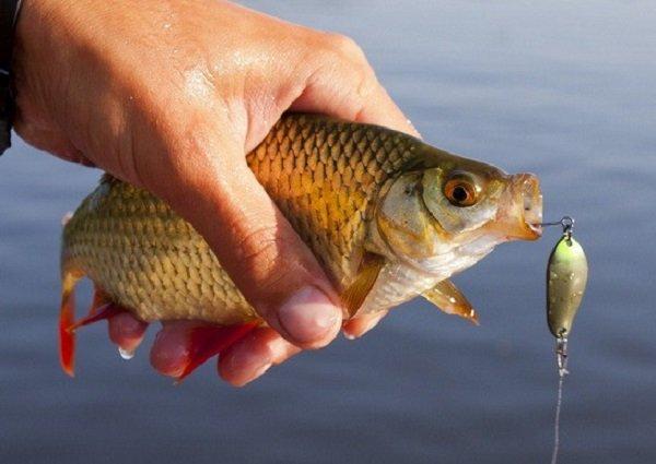Краснопёрка не любит течение, поэтому её всегда следует искать в малопроточных прудах, озёрах, старицах рек и затонах