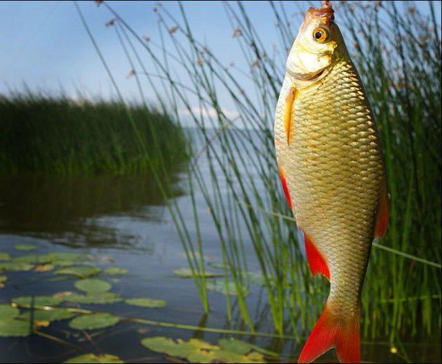 Ловля краснопёрки — это своего рода искусство и только настоящие ценители этого искусства оценят всю прелесть рыбалки на краснопёрку