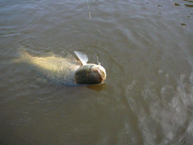 Как утверждают эксперты, описываемая оснастка применяется для ловли разных видов рыб: от верховодки до крупного хищника