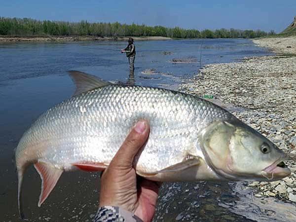 Жерех – рыба теплолюбивая и хорошо себя чувствует только в теплых регионах, где и имеется его наибольшая популяция