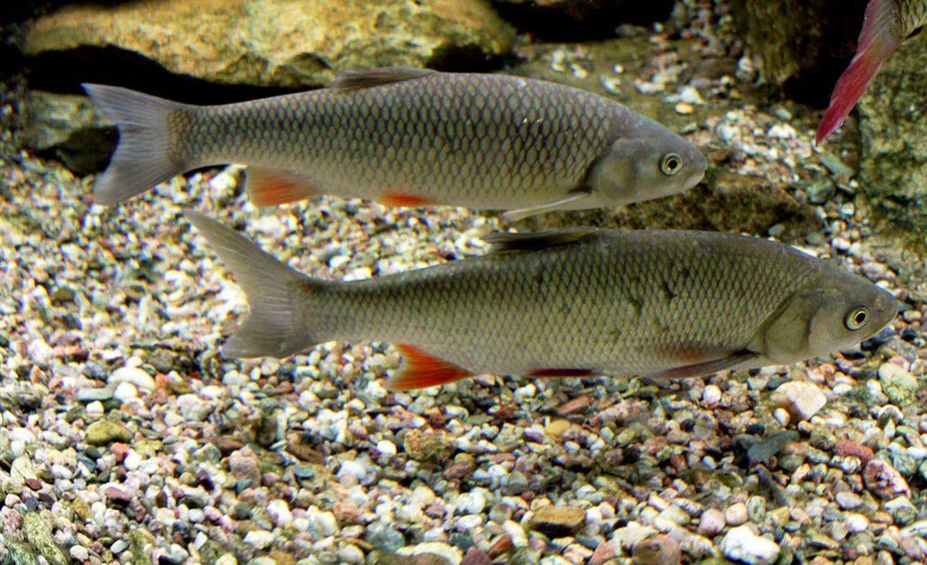 Squalius cephalus – крупная рыба семейства карповых