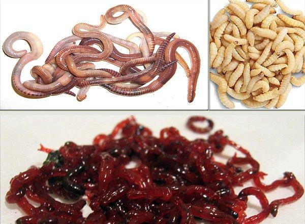 Крупный навозный червь – неплохая приманка для карася, в некоторых водоемах