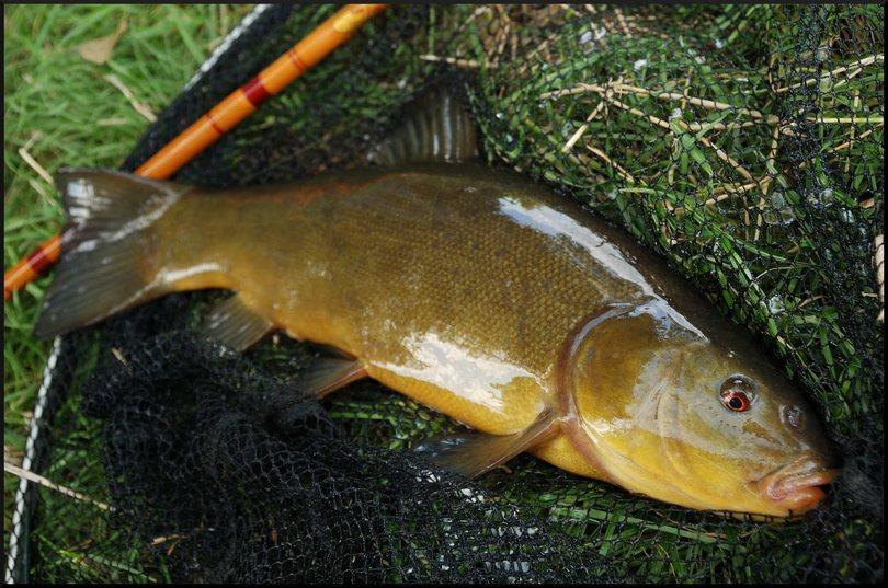 Ловля линя на фидер — Здесь рыба
