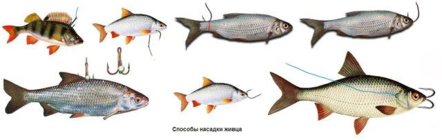 Выбор целиком зависит от активности зубастой и предпочтений рыболова