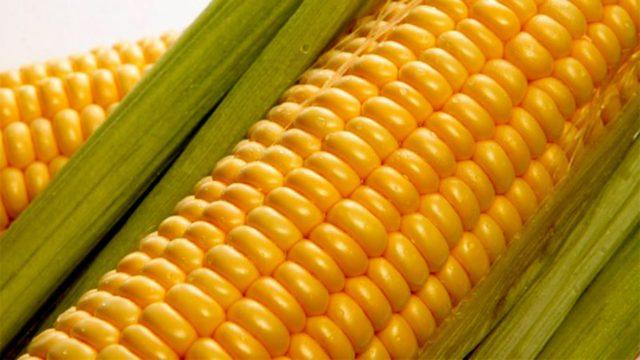 На кукурузу с успехом ловят карпа, карася, белого амура, леща, густеры, язя, линя, плотвы