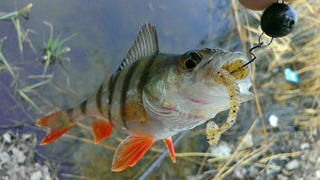 Варьируя длину поводка, рыболов может регулировать глубину лова