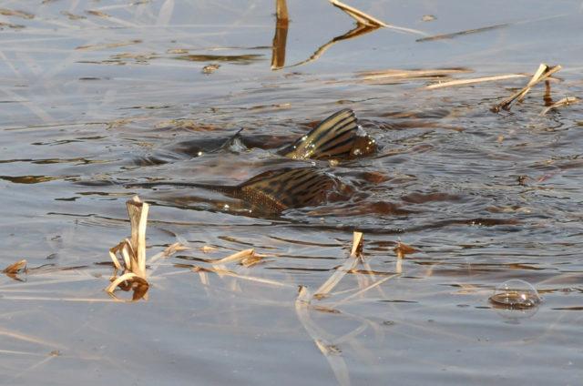 Самое лучшее время для весенней рыбалки на щуку, после спада воды и до поднятия водорослей и зарастания речки