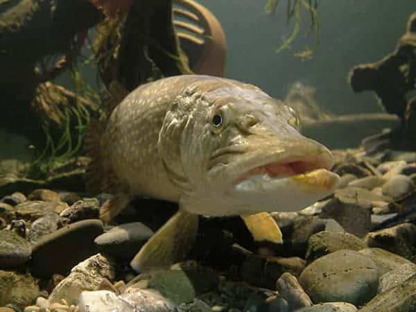 Вообще, эта рыба сама по себе является неосторожной и довольно жадной