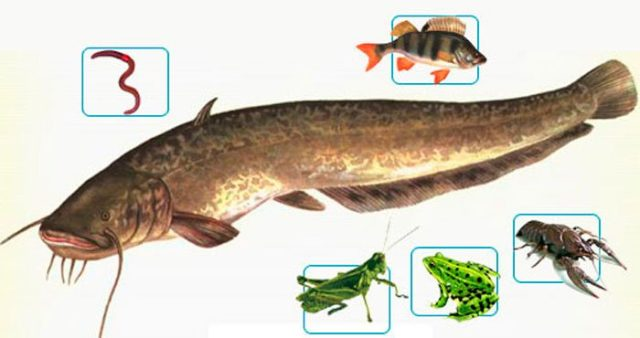 Выползков – именно с этой простейшей наживки и рекомендуется начинать охоту за сомом новичкам рыбной ловли