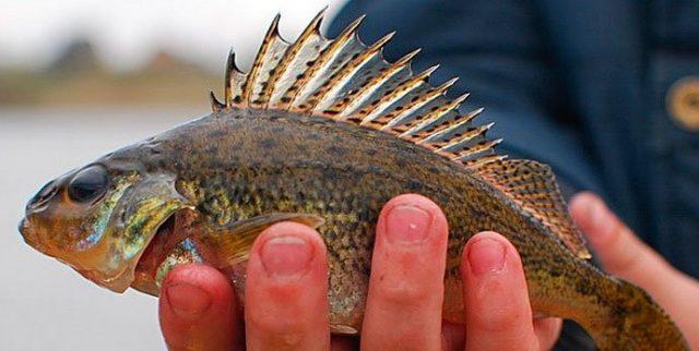Молодой, неопытный рыболов не понимает в принципе идеи ловли ерша