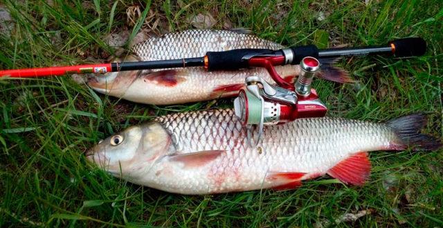 При ловле голавля нужно очень тщательно маскировать крючок и маскироваться самому рыбаку на берегу, не совершая резких движений