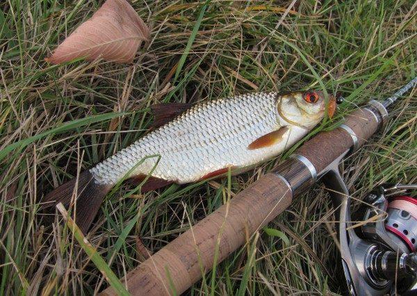 Именно на поплавок большинство любителей рыбалки ловят эту рыбку