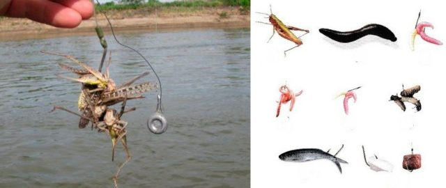 Для этого можно использовать рубленое мясо лягушки, рыбы, курицы и др.