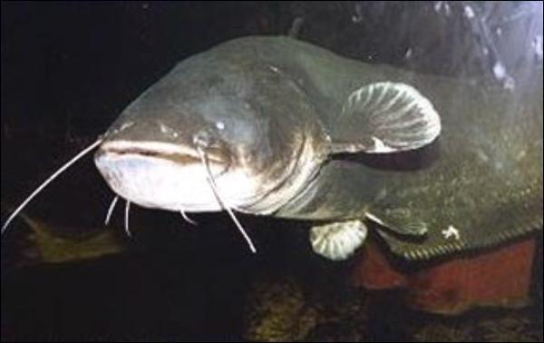 Учитывая, что эта рыба существенно отличается от других хищников своим образом жизни, осенняя рыбалка на сома требует от рыболова знания его сезонных повадок