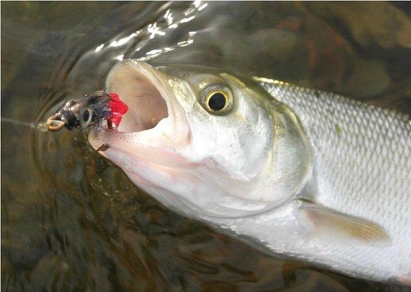Проблемы связаны с тем, что жерех имеет прекрасное зрение и запросто может увидеть рыбака на берегу