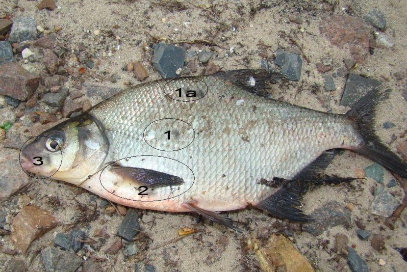 Густера и подлещик отличия — Здесь рыба