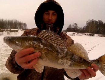 Как ловить судака зимой на жерлицы?