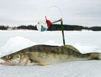 Как ловить судака зимой на поставушки?